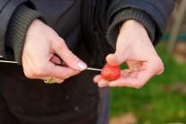 Jahody loupat nemusíme a tak je omyté napichujeme na špejle.
