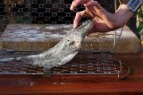 Rybu připravenou podle předchozích kroků vložíme do držáku na rybu Weber a zajistíme uzávěrem. Celý držák vkládáme do roztopeného grilu.